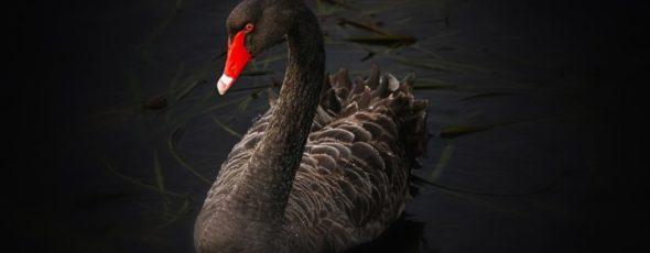 Black Swan SchiffGold | James Alexander Michie